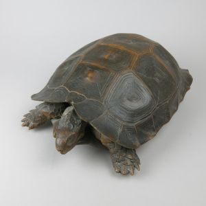 Antique Tortoise 3