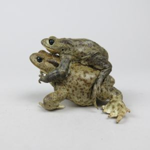 Common Toads mating 2
