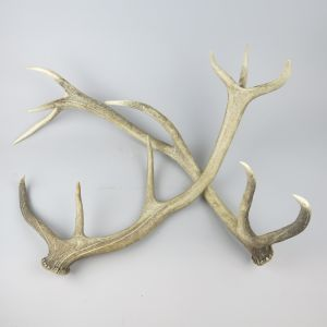 Shed antlers 2