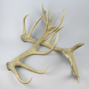 Shed antlers 1