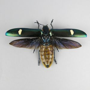 Megaloxantha bicolor (open wings)