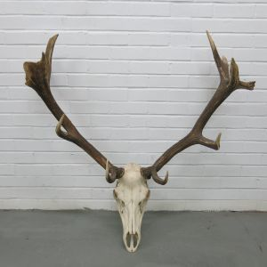 Stag Antlers (G)