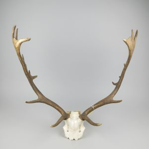Antlers (no.17)