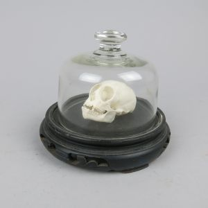 Squirrel monkey skull under cloche