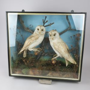 Cased pair Barn Owls