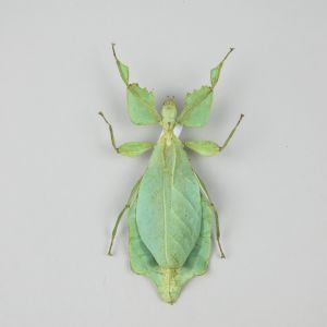 Leaf Insect 2 (smaller variant)