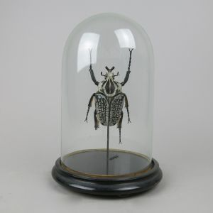 Goliath beetle under dome