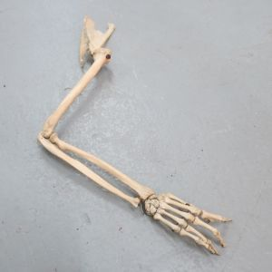 Human skeletal arm with hand