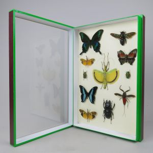 Mixed case of tropical butterflies/insects
