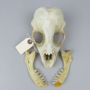 Common Seal skull 2